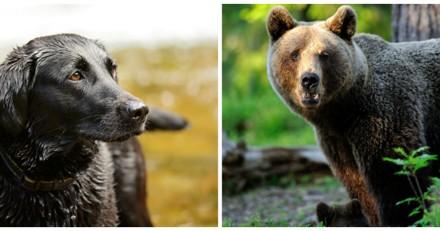 Il affronte un ours pour sauver la vie de son chien