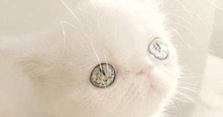 Les yeux vairons de ce chat vont vous hypnotiser