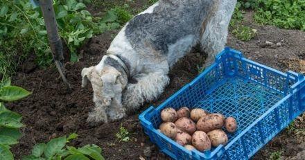 Les chiens peuvent-ils manger de la pomme de terre blanche ?