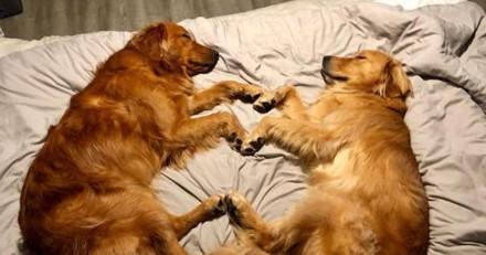 Ces chiens s'endorment de la plus adorable des façons (Photos)