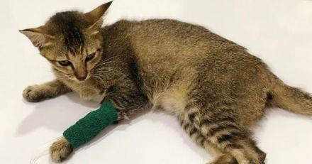 La pancréatite du chat : causes, symptômes et traitement