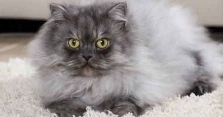 Persan : tout savoir sur cette race de chat