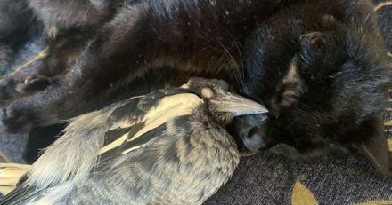 Quand son papa a ramené une pie abandonnée à la maison, ce chat a décidé d'en faire sa meilleure amie ! (Vidéo)
