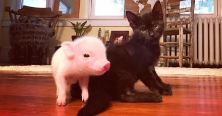 Ce bébé cochon orphelin réconfortant un chaton malade est la chose la plus mignonne que vous verrez aujourd'hui