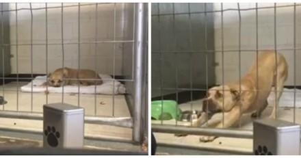 Ce Pitbull déprimé refuse de bouger, mais quand un petit garçon arrive tout le monde est bouche bée (Vidéo)