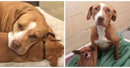 Il adopte un Pitbull dans un refuge, mais ne s'attendait pas du tout à sa réaction