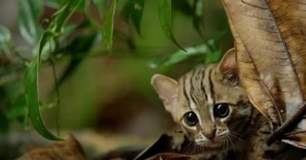 Voici le plus petit chat sauvage au monde et la plus adorable vidéo que vous verrez aujourd'hui !