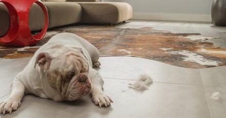 Les secrets pour que votre chien/chat perde moins de poils