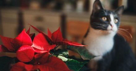 Ces 5 plantes de Noël sont dangereuses pour votre chat !