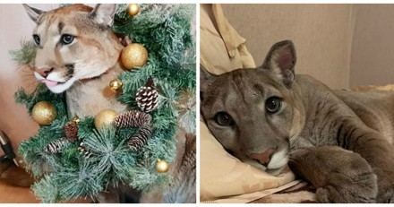 Ils rêvent d'un gros chat et décident d'adopter un puma (Photos)