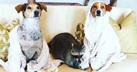 Adopté par des chiens de refuge, ce raton laveur abandonné a vécu la plus belle des vies à leurs côtés