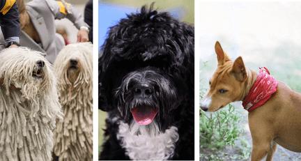 10 races de chien qui ne perdent pas leurs poils