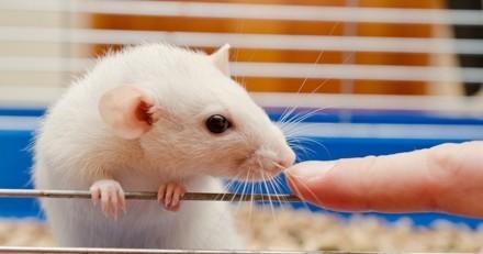 Les rats rient et même qu'ils sont chatouilleux