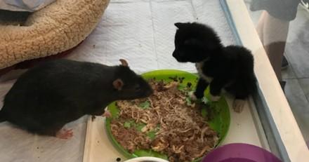 Ces rats ont un super job : ils s'occupent de chatons orphelins (Vidéo du jour)