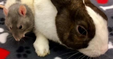 Trouvés ensemble dans la rue, ce lapin et ce rat sont inséparables (Vidéo) !