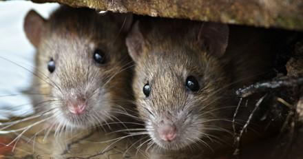 266 rats découverts chez une personne qui vivait dans un logement insalubre