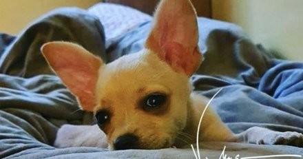Un bébé Chihuahua est condamné à mort, Jean-Claude Van Damme intervient (vidéo)