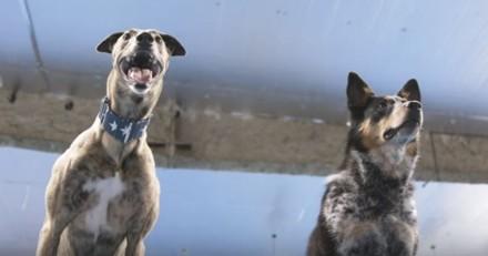 Ces deux chiens abandonnés ont battu des records du monde impressionnants ! (Vidéo)