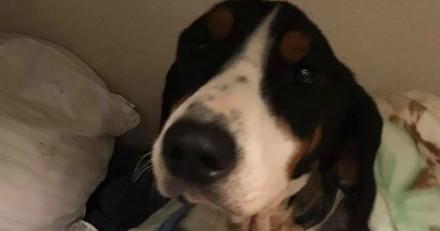 Ce chien dans un état pitoyable qui se nourrissait de cailloux se bat pour sa vie (Photos)