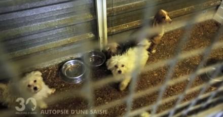 Autopsie d'une saisie chez une éleveuse qui détenait 150 chiens dans d'épouvantables conditions (Vidéo)