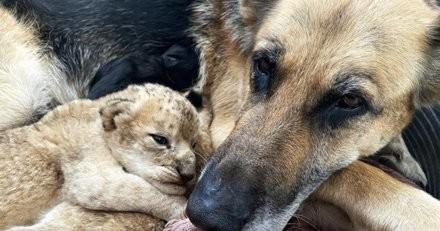 La lionne rejette ses lionceaux : ce que fait cette femelle Berger Allemand laisse sans voix (vidéo)