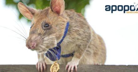 Ce rat détecteur de mines au Cambodge a décroché la médaille d'or du mérite
