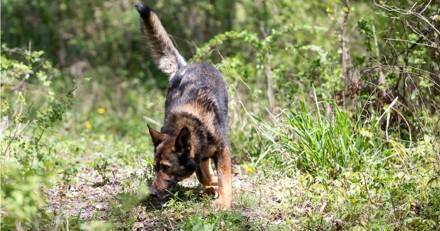 Voici pourquoi les chiens pisteurs se trompent dans 4 à 45% des cas