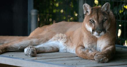 Californie : Elle croit entendre son chien pleurer, ouvre la porte et tombe sur un puma !
