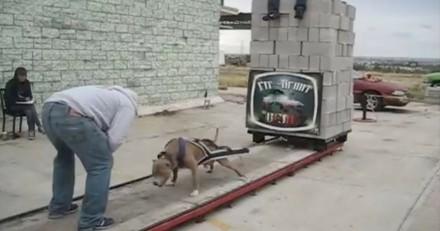 Des chiens forcés de tracter des tonnes de béton pour une scandaleuse compétition (Vidéo)