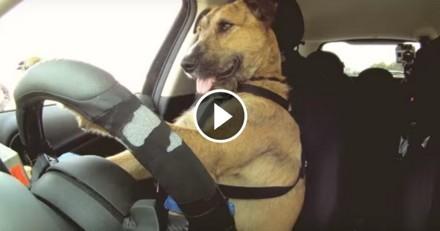 Ce chien est le premier conducteur de voiture du monde ! (Vidéo du jour)