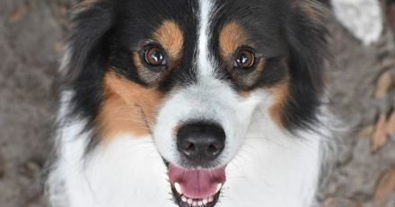 Races de chien les plus populaires sur le web en 2020 : le Berger Australien arrive en tête du palmarès !