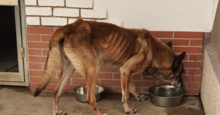 Abandonné dans son jardin par ses maîtres il y a 6 mois, ce Malinois a été sauvé par la Fondation Assistance aux Animaux
