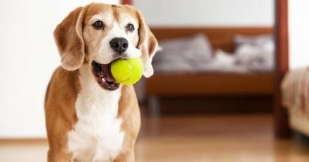 Les balles de tennis sont-elles dangereuses pour les chiens ?