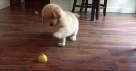 Ce chiot Golden Retriever voit un citron pour la 1ère fois : sa réaction fait craquer le web !