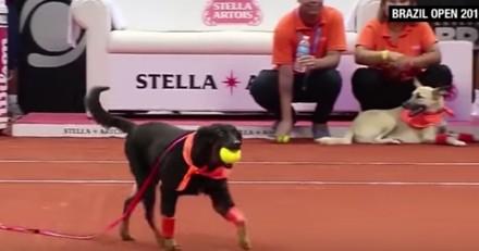 Des chiens de refuges employés comme ramasseurs de balles de tennis pour promouvoir l'adoption ?
