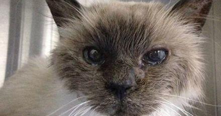 Un ouvrier trouve un chat Birman sur un chantier : le vétérinaire scanne sa puce et a le choc de sa carrière