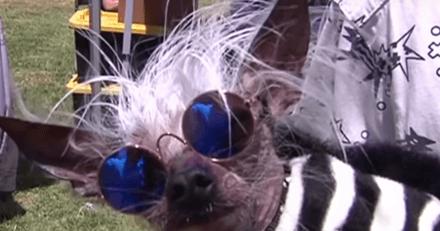 On vous présente Scamp, le chien le plus moche du monde