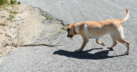 Que faire si mon chien se fait mordre par un serpent ?