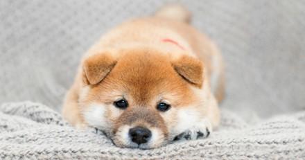 10 Shiba Inu qui vont vous donner le sourire toute la journée