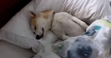 Pour ne pas aller chez le vétérinaire, cette chienne Shiba Inu a la meilleure technique (Vidéo)