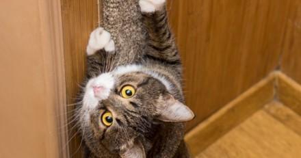 Le chat gratte le papier peint de la chambre : en voyant ce qui apparait en dessous, elle manque de tomber