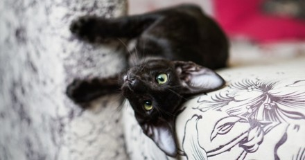 Ce chaton vaut 11 millions d'euros et la raison rend tout le monde totalement fou !