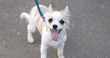 A sa fenêtre, elle voit une femme promener un Chihuahua : tout d'un coup, elle sort en courant et criant