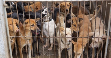 Coronavirus : une ville chinoise veut interdire la consommation de viande de chien !