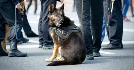 L'auteur présumé d'un cambriolage a été retrouvé grâce à ce chien policier !