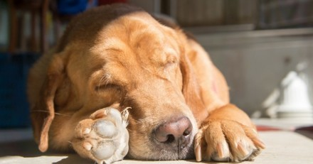 De combien d'heures de sommeil mon chien a-t-il besoin ?