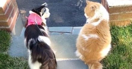 Ce chat va voir son amoureuse chez son voisin tous les jours depuis 2 ans