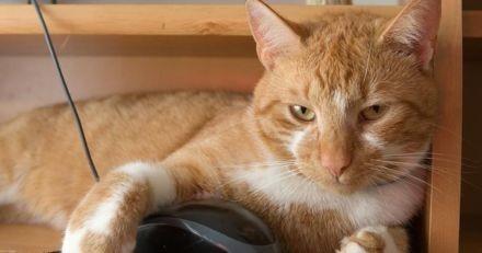 En plein télétravail, son chat remarque une souris : ce qui s'en suit rend le travail totalement impossible ! (Vidéo)