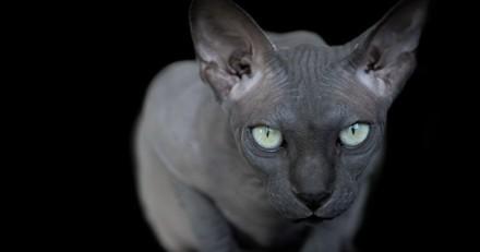 Le bel hommage d'une photographe à l'étrange beauté des chats Sphynx