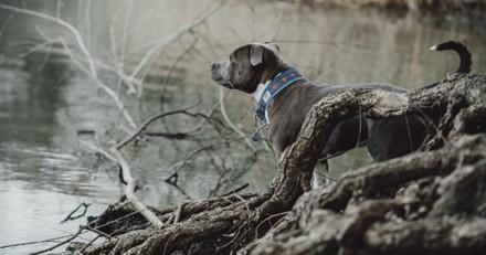 Promenade dans les bois avec son chien : la Staffie s'arrête net et aboie face à une triste découverte